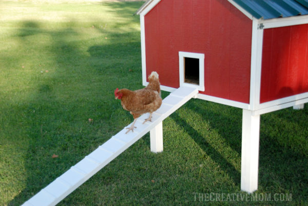 chicken on chicken coop